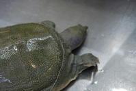 すっぽん料理 - ハレの日は椿亭の料理でおもてなし   公式weblog