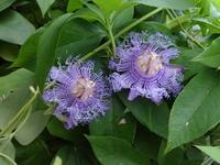 ソバージュ咲き時計草 - だんご虫の花
