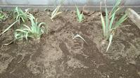ジャーマンアイリスを移植 - うちの庭の備忘録 green's garden