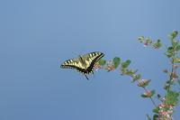 キアゲハ 青い山脈 - 気まぐれ野鳥写真
