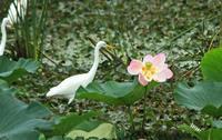 シラサギと蓮の花 - barbersanの野鳥観察