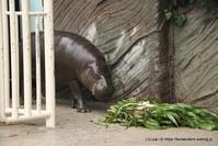 コビトカバのコウメちゃん 東山の姉妹に会いに - こらくふぁーむ