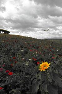一輪、力強く ~旭川空港~ - 自由な空と雲と気まぐれと ~from 旭川空港~