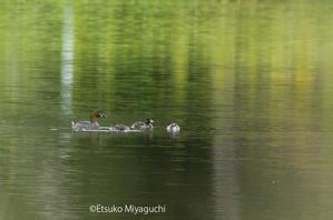 カイツブリの親子 - ekkoの --- four seasons --- 北海道