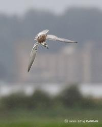 ハジロクロハラアジサシ - 鳥待ち写真日記