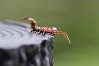 シャチホコガの幼虫&キビタキ♀(仮) - 野山の住認たちⅡ