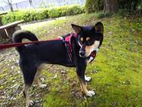 リオ(犬)と散歩・3358歩50分 - 化学物質過敏症・風のたより2