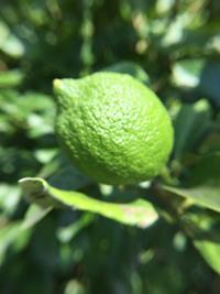 レモンの実 - 岡山の米作り名人