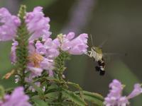 『花虎の尾(ハナトラノオ)と大透翅(オオスカシバ)と蔓穂(ツルボ)の花等・・・・・』 - 自然風の自然風だより