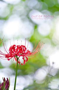 藪蚊の囁き(彼岸花) - 焦点を合わせて out of focus