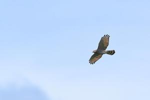 頭上のサシバ - 野鳥公園