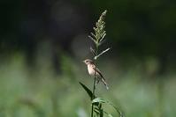 今季初ノビタキさん - ベジタブルpartⅤ(鳥と共に日々是好日)