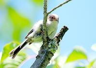 エナガの雛っ子-初夏の思い出 - ゆるゆる野鳥観察日記