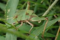 クルマバッタの終令幼虫?Gastrimargus marmoratus - 写ればおっけー。コンデジで虫写真