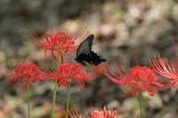 クロアゲハ  ヒガンバナの黒い蝶 - 蝶のいる風景blog