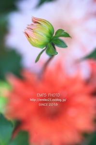 つぼみ - my FHOTO