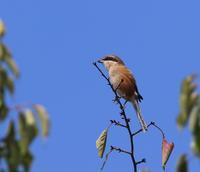 秋晴れの青天の中、 - ぶらり探鳥