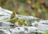 メジロの水浴び!! - zorbaの野鳥写真と日記
