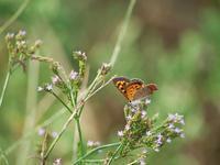 シジミ蝶を撮る - いや、だから 姉ちゃん じゃなくて ネイチャー・・・