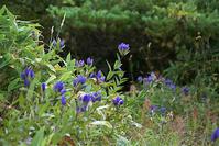 エゾリンドウ - オバサンが行く ヒマラヤの青いけしの旅/改め   時々蔵王の花たち