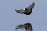 ミサゴの代わりにドバトが - 気まぐれ野鳥写真