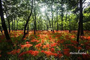 行ってきました♪巾着田の彼岸花 - MIRU'S PHOTO