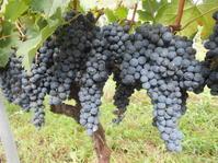 奥野田ワイナリー神田圃場のメルロー収穫です。 - のび丸亭の「奥様ごはんですよ」日本ワインと日々の料理