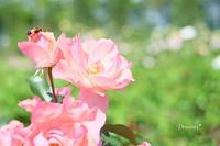 薔薇。 - Precious*恋するカメラ