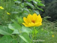 今年も会えた・・・キバナコスモス - 風と花を紡いで