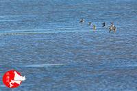 水辺のシギたち - イチガンの花道