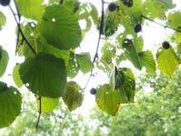 隣の木 (^^♪ - のーんびり hachisu 日記