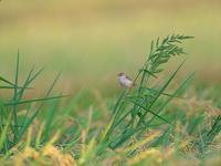 秋色に・・・セッカ。 - 鳥見んGOO!(とりみんぐー!)野鳥との出逢い