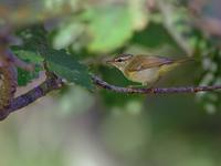 お山のメボソムシクイ(2) - トドの野鳥日記