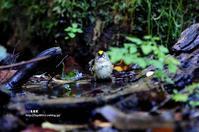 水場に降りてきたキクイタダキ - azure 自然散策 ~自然・季節・野鳥~