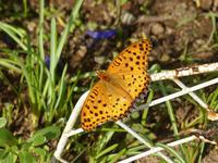 ツマグロヒョウモン庭の蝶 - 蝶のいる風景blog