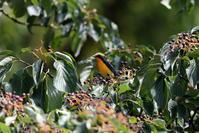 渡りの立ち寄りのキビタキ - 私の鳥撮り散歩