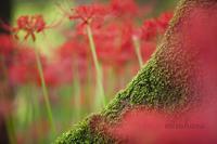 巾着田*彼岸花と樹木のコラボ。 - MIRU'S PHOTO
