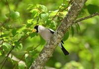 2017年マミジロイカル - 可愛い野鳥たち 2