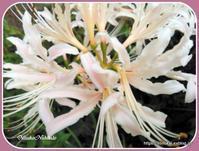 今年も白い彼岸花が咲きました♪ - ルーマニアン・マクラメに魅せられて