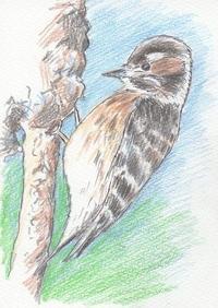 色鉛筆画・・・コゲラ - 浅川野鳥散歩
