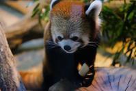 赤ちゃんでもレッサーパンダ - 動物園に嵌り中