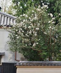 立本寺の名残のサルスベリ - たんぶーらんの戯言