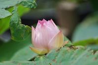 立本寺の名残りの蓮 - たんぶーらんの戯言