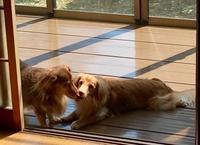 久々にテラスで寛ぐお犬たち - きょうのはなwithくるみ~愛犬写真日記~