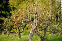 柿の季節 - エンジェルの画日記・音楽の散歩道