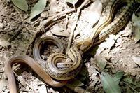 ヒバカリを食べる シマヘビ - 裏庭観察記 外伝