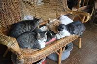 本格的猫団子 - りきの毎日