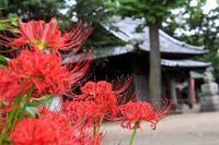 川越の仙波氷川神社のヒガンバナ - 子猫の迷い道Ⅱ