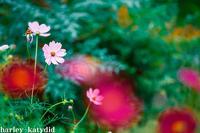 コスモス - harley-katydid