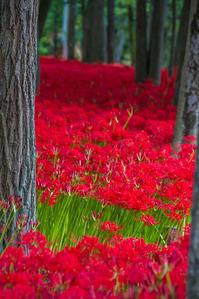 深紅の絨毯 - デジカメ写真集